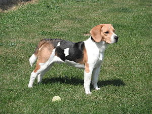 Scent hound - The Beagle: long ears, large nasal passages, and a sturdy body for endurance