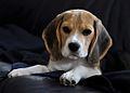 Beagle Ula.jpg