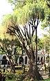 Beaucarnea recurvata Funchal Jardim Municipal Madeira 2016 1.jpg