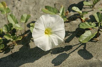 Beautiful beach flower found along the dunes of bulls island.jpg