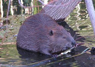 Napa, California - Beavers have recolonized the Napa River.