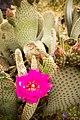 Beavertail cactus (13496643294).jpg