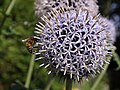 Bee on globe thistle, Dartington - geograph.org.uk - 497280.jpg