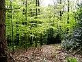 Beech in the green 1 - geograph.org.uk - 1268085.jpg