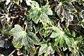 Begonia Hocking Shockwave 4zz.jpg