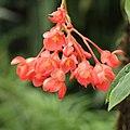 Begonia foliosa-IMG 4516.jpg