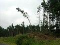 Bendy Tree - geograph.org.uk - 217455.jpg
