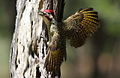 Bennett's Woodpecker, Campethera bennettii at Marakele National Park, Limpopo, South Africa ( male displaying) (16278983191).jpg