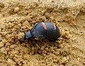 Berberomeloe majalis. (Aceitera). Red striped oil beetle. Female laying eggs (31695969154).jpg