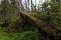 Berge urskog.jpg