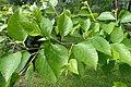 Betula dahurica kz02.jpg