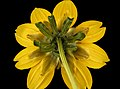 Bidens cernua, Nodding Beggartick backside flower, Howard County, Md 2017-09-28-13.35 (24166065868).jpg