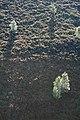 Birches near Deer Holes - geograph.org.uk - 1490571.jpg