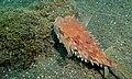 Birdbeak Burrfish (Cyclichthys orbicularis) (8457024742).jpg