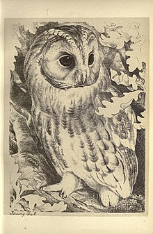 An illustration of a tawny owl, from plate 12 of Birds from Moidart and elsewhere (1895).