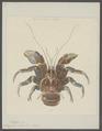 Birgus latro - - Print - Iconographia Zoologica - Special Collections University of Amsterdam - UBAINV0274 096 11 0033.tif