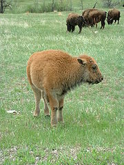 American Bison Reproductive Habits | RM.