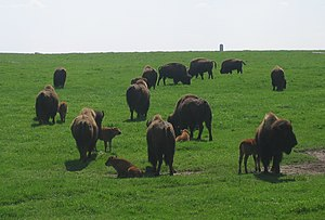 Blue Mounds State Park - Bison herd in the park in spring