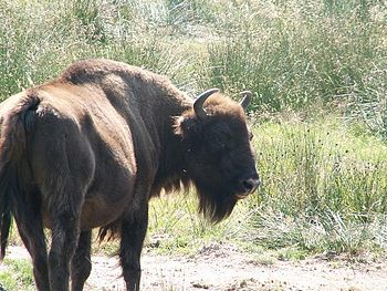 Wisent or European Bison (bison bonasus).