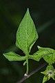Bittersweet (Solanum dulcamara) - Guelph, Ontario 02.jpg