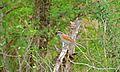 Black-crowned (Tchagra Tchagra senegalus) (6001644597).jpg