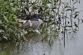 Black-crowned Night Heron (36987358533).jpg