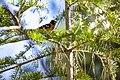 Black-headed grosbeak (48114067276).jpg