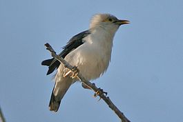 Black-winged Starling (Acridotheres melanopterus).jpg