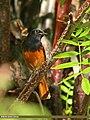 Black Redstart (Phoenicurus ochruros) (22118789396).jpg