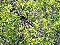 Black Sicklebill male. Epimachus fastosus (48670907843).jpg