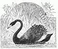 Black Swan Drawing.jpg