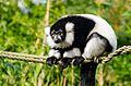Black and white Ruffed Lemur (24427272983).jpg