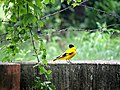 Black hooded oriole.jpg