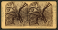 Black rubber tree. Florida, from Robert N. Dennis collection of stereoscopic views.png