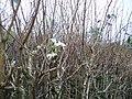 Blackberry Blossom - geograph.org.uk - 301869.jpg