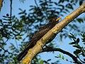 Blackbird, Bystrc 04.JPG