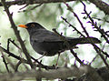 Blackbird in Madrid (Spain) 34.jpg