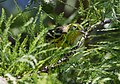 Blackburnian Warbler (29280916803).jpg