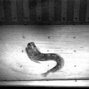 File:Blenniella gibbifrons jumping - pone.0011197.s005.ogv
