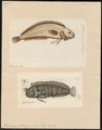 Blennius gattorugine - 1700-1880 - Print - Iconographia Zoologica - Special Collections University of Amsterdam - UBA01 IZ13600311.tif