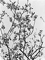 Bloeiende fruitboom in IJzendoorn in de Betuwe, Bestanddeelnr 190-0006.jpg