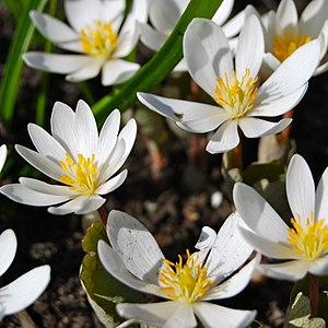 Sanguinaria - Image: Bloodroot (Sanguinaria canadensis)