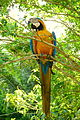 Blue-and-gold macaw (5479787228).jpg