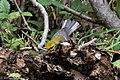 Blue-winged Warbler (male) Sabine Woods TX 2018-04-21 12-21-31 (40164523650).jpg