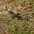Blue Grosbeak (7094950119).jpg