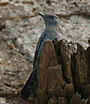 Blue Rock Thrush (Monticola solitarius)- Male in Bhongir, AP W IMG 3101.jpg