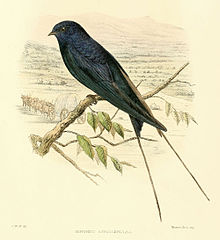 Drawing of Blue Swallow