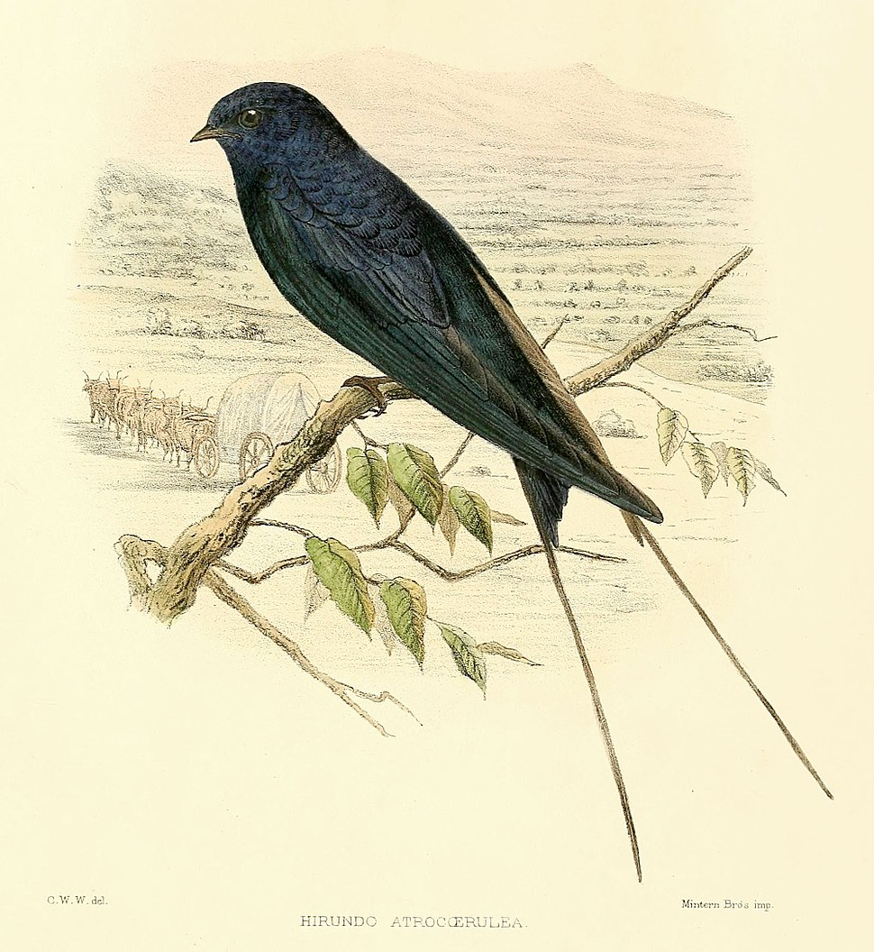 Drawing of a blue swallow
