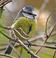 Blue Tit (Cyanistes caeruleus) adult - geograph.org.uk - 667388.jpg