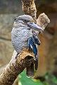 Blue Winged Kookaburra-2 (11358766775).jpg